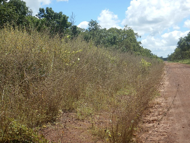 South East Arafura Catchment Rangers spraying Hyptis suaveolens along the Central Arnhem Road – before (left) and after spraying.