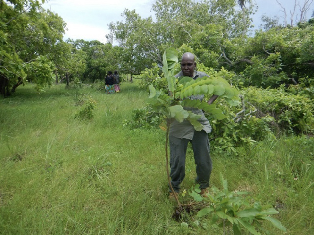 Rangers manually removing Candle bush (Senna alata) at Garpal on the edge of the Arafura Swamp. Candle bush can invade native bushland in wetter areas, forming dense thickets.