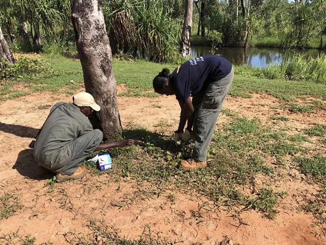 Women rangers removing weeds at Djapitjapin waterhole