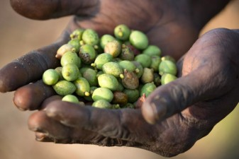 Green plum (Buchanania obovata) is ready to eat before the wet season starts.