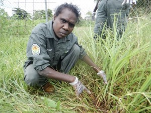 Women rangers engaging in weed identification and undertaking Mission grass management in Ramingining